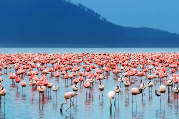 Flamingos no Quênia